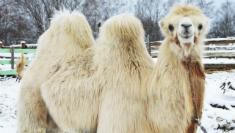 Катание на верблюде